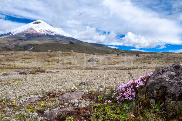 Cotopaxi volcano over the plateau, covered with flowering crocus Stock photo © xura