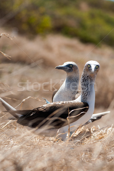 Ekvador su deniz kuş Stok fotoğraf © xura