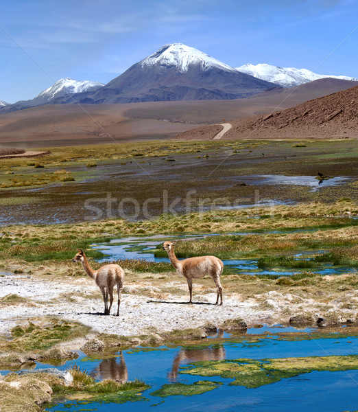 Vicuñas graze in the Atacama, Volcanoes Licancabur and Juriques Stock photo © xura
