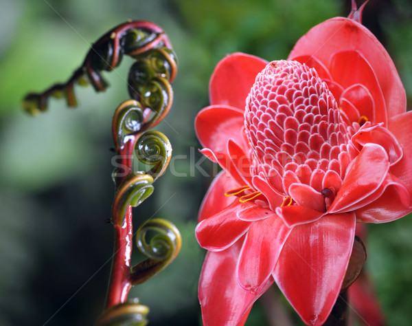 Closeup of Plant from  jungle Torch Ginger, Phaeomeria Magnifica Stock photo © xura