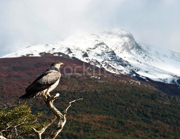 Clássico pássaro árvore colina Chile parque Foto stock © xura