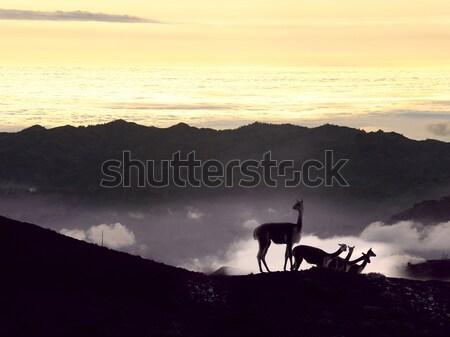 Vicugna. Cordillera Occidental, Andes, central Ecuador, near the Stock photo © xura