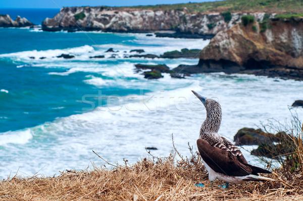 Blue-footed Booby, Ecuador Coastline, Isla de la Plata Stock photo © xura
