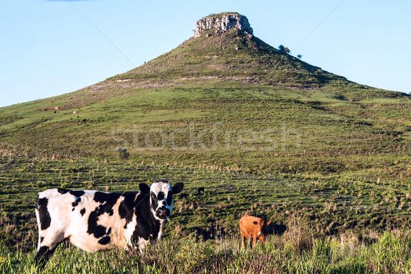 Idyllisch landschap heuvel boom natuur koe Stockfoto © xura