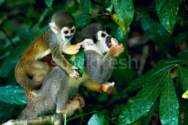 Wiewiórki małpa amazon Rainforest trawy lasu Zdjęcia stock © xura