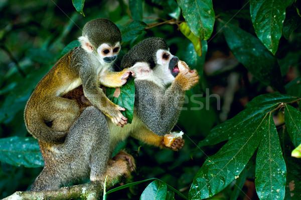 белку обезьяны Amazon леса трава лес Сток-фото © xura