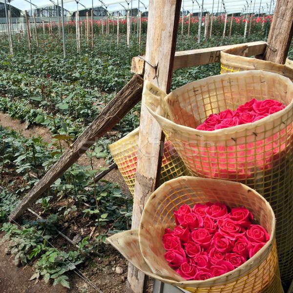 Stok fotoğraf: Güller · hasat · tarla · Ekvador · güney