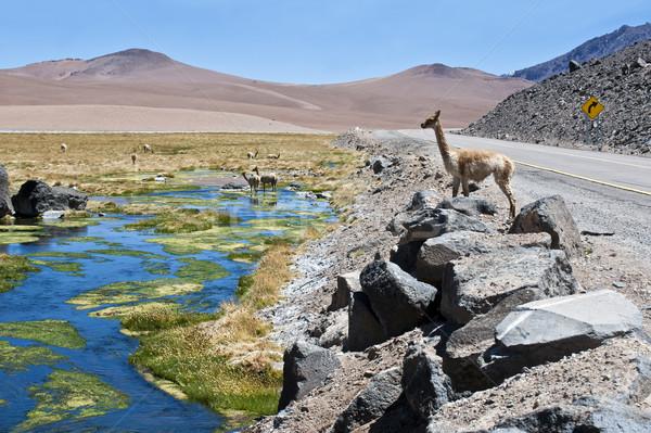 Vicuñas and alpacas graze in the Atacama Stock photo © xura