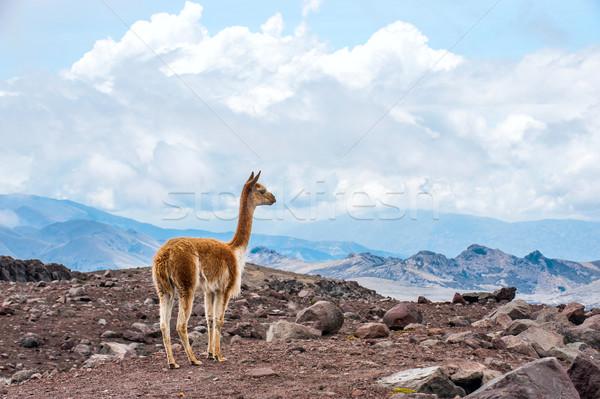 Wild kameel live hoog alpine Stockfoto © xura