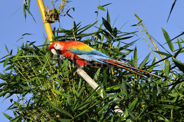 Amazonian Macaw - Ara ararauna in front of a blue sky Stock photo © xura