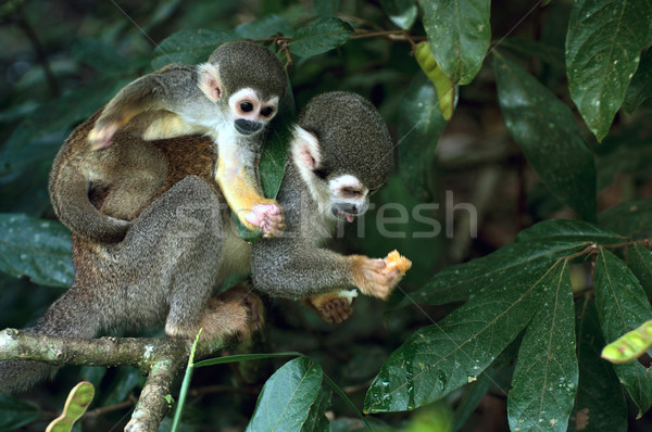 Sincap maymun Amazon Rainforest çim orman Stok fotoğraf © xura