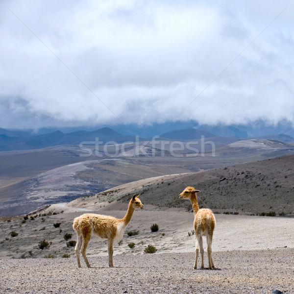 Stock photo: Vicuna (Vicugna vicugna) or vicugna is wild South American camel