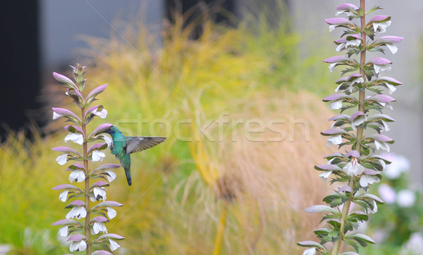 Small hummingbird near flowers frozen in action with it's wings  Stock photo © xura