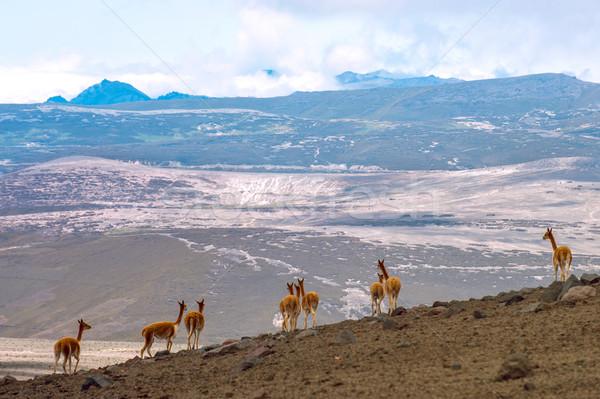 Vicuna (Vicugna vicugna) or vicugna is wild South American camel Stock photo © xura