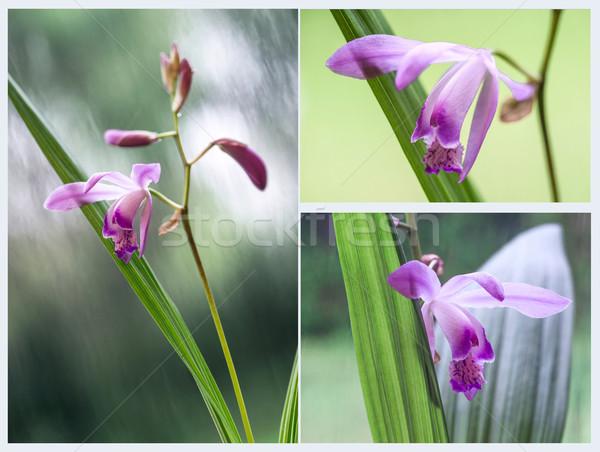 Belo miniatura orquídea planta Uruguai flor Foto stock © xura