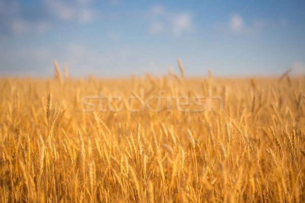 Otono campo de trigo cielo azul naturaleza verano azul Foto stock © Yaruta