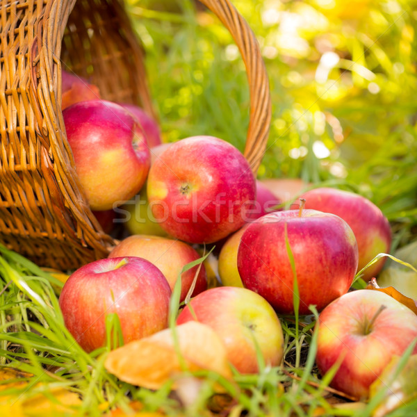 Red apples in autumn outdoors Stock photo © Yaruta