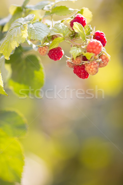 Raspberries on a branch Stock photo © Yaruta