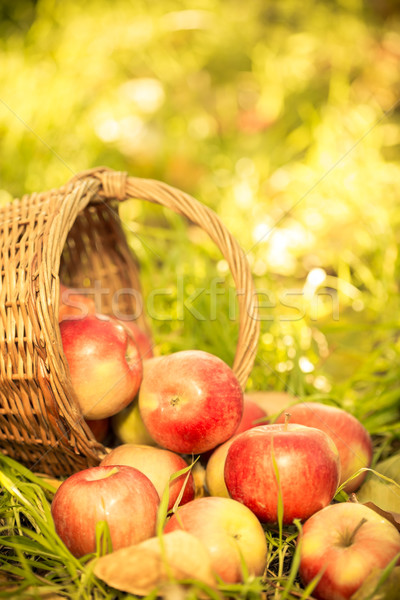 Rojo manzanas otono jardín aire libre acción de gracias Foto stock © Yaruta