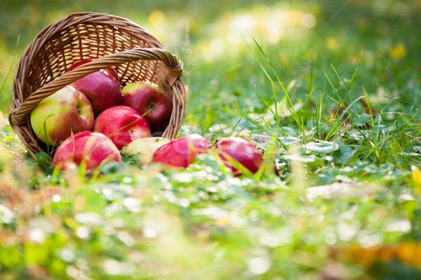 Basket of apples Stock photo © Yaruta
