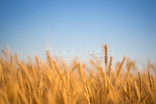 ősz búzamező kék ég természet nyár kék Stock fotó © Yaruta