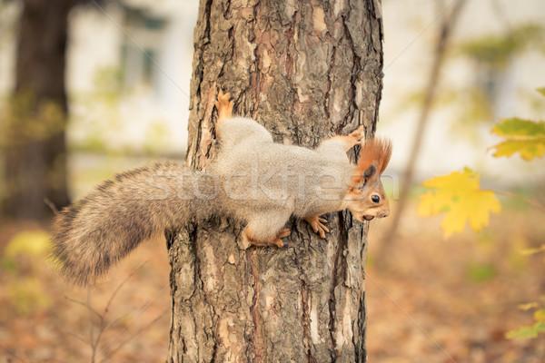 Ardilla árbol otono parque naturaleza comer Foto stock © Yaruta