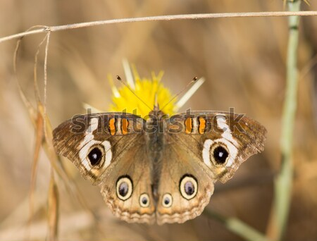 Common Buckeye butterfly feeds from a yellow flower Stock photo © yhelfman