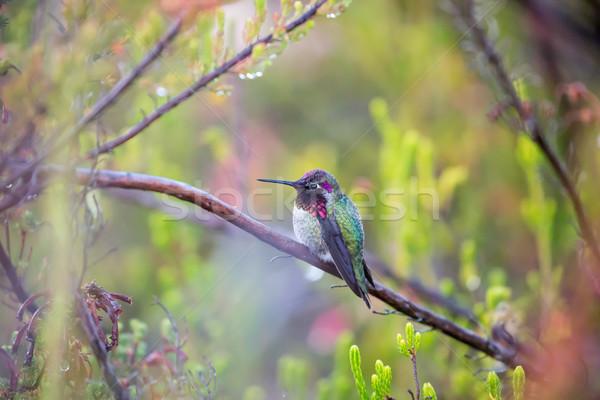 Anna's Hummingbird - Calypte anna Stock photo © yhelfman