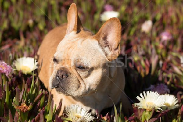 French Bulldog in Sea Fig Background. Stock photo © yhelfman