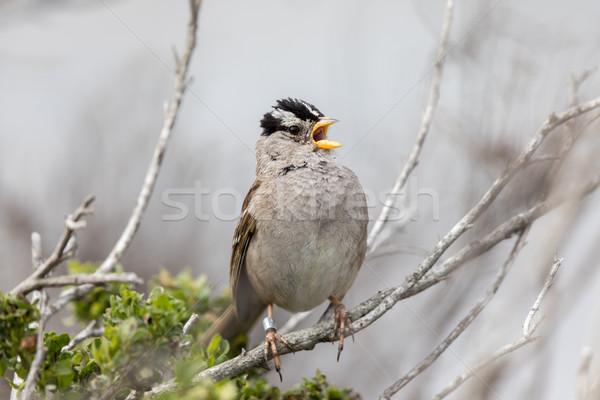 Serçe yetişkin kuş siyah ve beyaz fırçalamak şube Stok fotoğraf © yhelfman