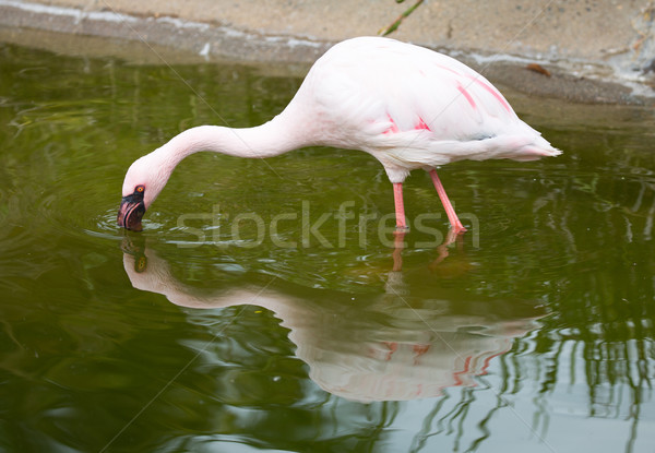 Lesser Flamingo (Phoeniconaias minor) Stock photo © yhelfman