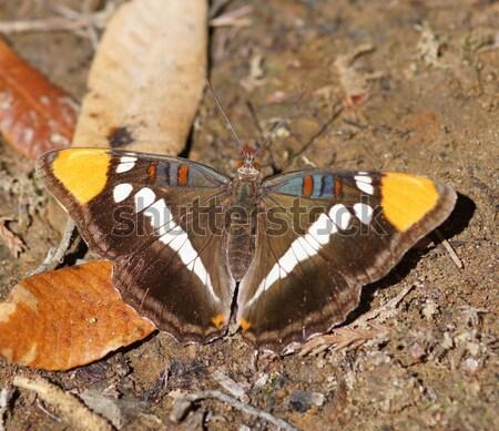Californië zus vlinder soorten familie kan Stockfoto © yhelfman