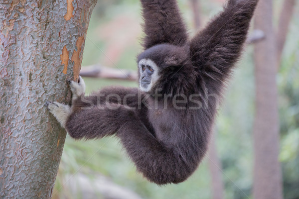 White Handed Gibbon (Hylobates lar) Stock photo © yhelfman