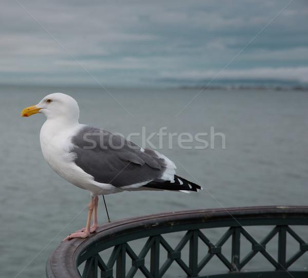 California Gull (Larus californicus) Stock photo © yhelfman