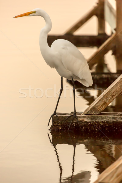 Great Egret (Ardea alba) perched on a dock by the lake. Shoreline Park, Mountain View, California, U Stock photo © yhelfman