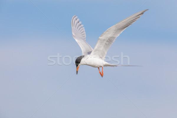 Snowy Egret (Egretta thula) foraging in the lake. Stock photo © yhelfman