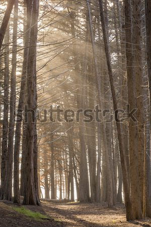 Sunrays In The Cypress Grove. Stock photo © yhelfman