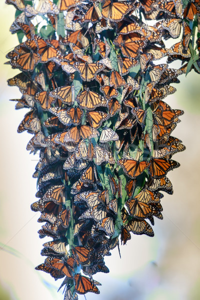 Monarch Butterflies forming a cluster to stay warm during migration. Stock photo © yhelfman