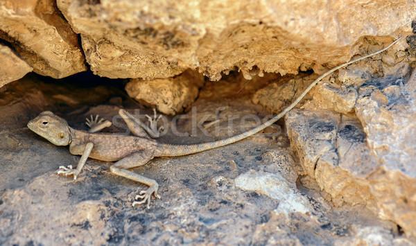 Desert (Pale) Agama - Trapelus  mutabilis, Judean Desert, Israel Stock photo © yhelfman