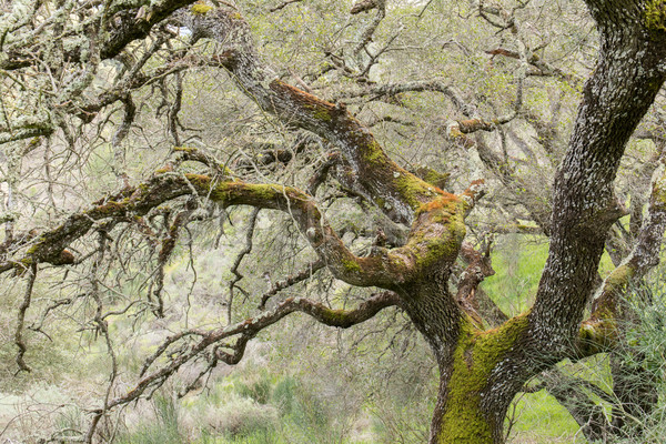 Oak Tree Covered with Fungi Lichen Algae Stock photo © yhelfman