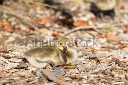 Canada Gosling (Branta Canadensis) Perching Stock photo © yhelfman