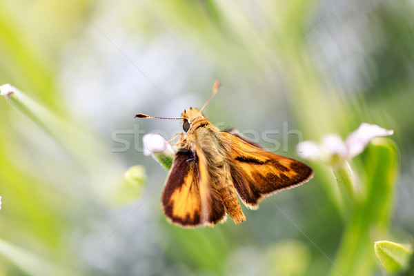 Fiery Skipper (Hylephila phyleus) male on Lavender. Stock photo © yhelfman