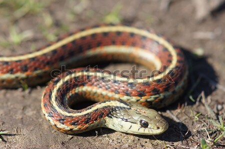 Coast Gartersnake close-up Stock photo © yhelfman