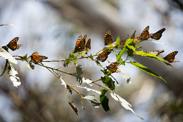 Monarch Butterflies (Danaus plexippus) Stock photo © yhelfman