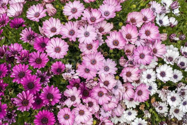 Stokrotki szczegóły wybór biały różowy fioletowy Zdjęcia stock © yhelfman