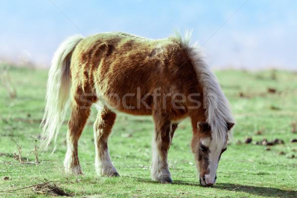 Pony (Equus ferus caballus) grazing in the field Stock photo © yhelfman