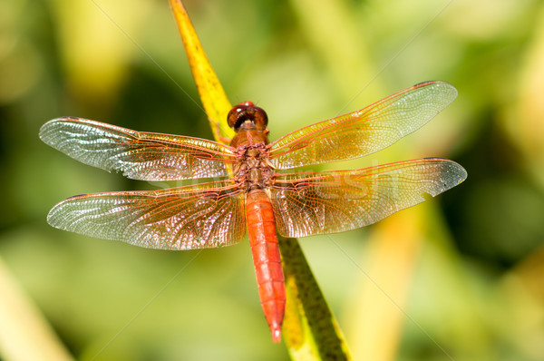 Stock photo: Flame Skimmer dragonfly