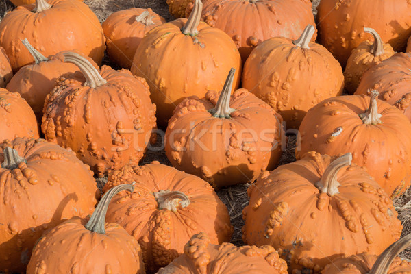 KnuckleHead Pumpkins in a Pumpkin Patch in Northern California Stock photo © yhelfman