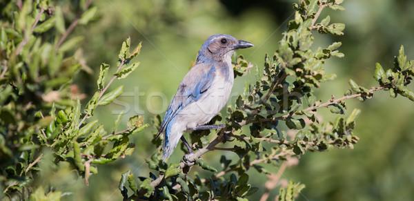 Westerse vogel Blauw eiken Stockfoto © yhelfman