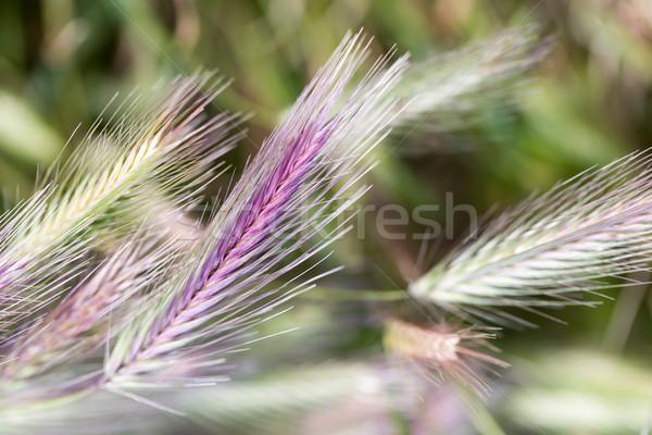 çavdar alan çim doğa ekmek buğday Stok fotoğraf © yhelfman